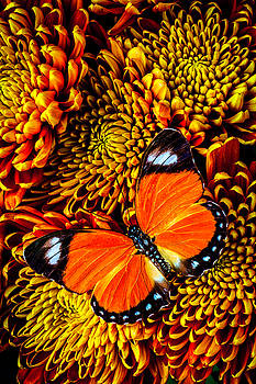 Orange Butterfly On Spider Mums by Garry Gay