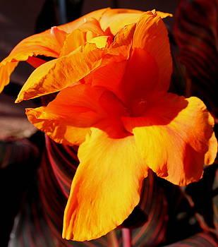 Orange Canna II by M Diane Bonaparte