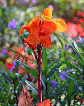 Rosanne Jordan - Orange Canna Lily