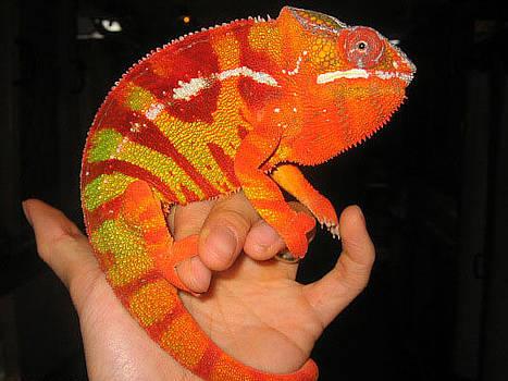 Orange Chameleon  by Stephen OHara
