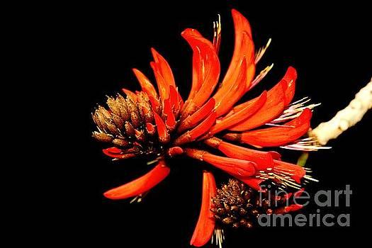 Orange Clover II by Stephen Mitchell