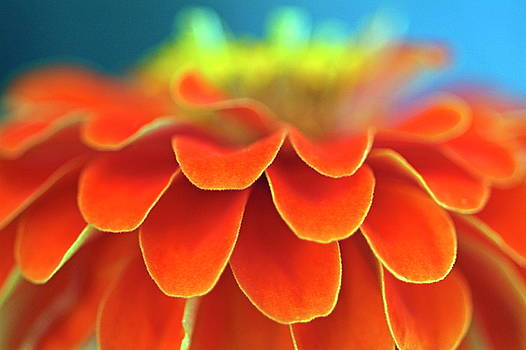 Sami Sarkis - Orange common zinnia