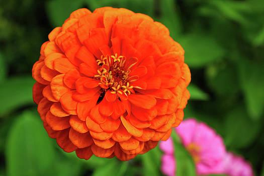 Orange Dahlia Flower by Pat Cook