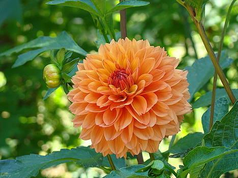 Baslee Troutman - Orange Dahlia Master Gardeners Art Collection Baslee Troutman