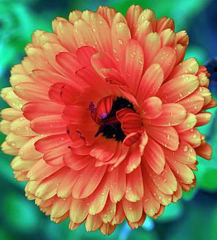 Orange Dahlia by Michelle Halsey