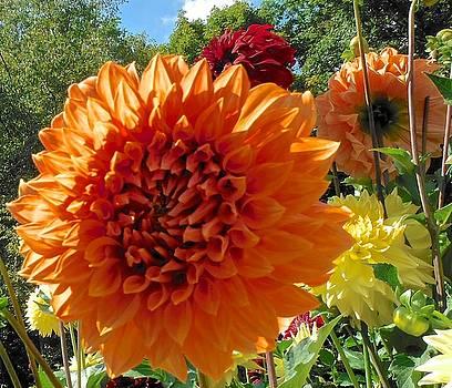 Orange Dahlia Suncrush  by Suzanne McDonald