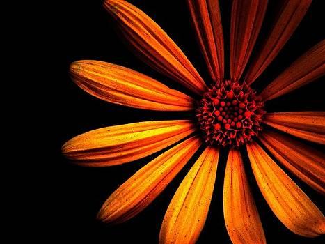 Orange daisy by Chase Whittaker