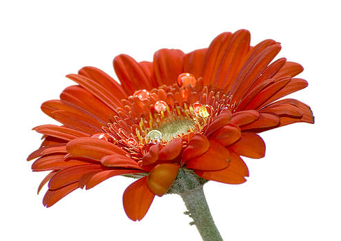 Orange Daisy Gerbera Flower by Pixie Copley