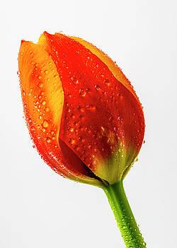 Orange dewy Tulip by Garry Gay