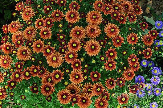 Orange Mums by Donna Brown