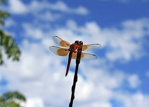 Orange Dragonfly  by Deanne Chapman