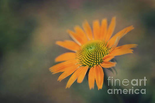 Orange Echinacea Dreams by Susan Gary