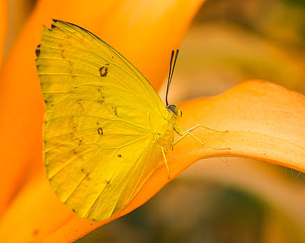 Orange Emigrant Butterfly by Kimberly Kotzian