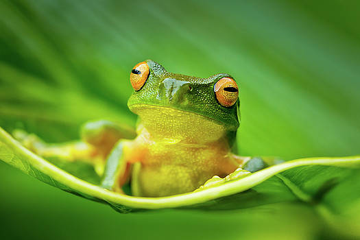 Orange Eyed Tree Frog by Linda Oliver