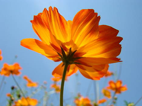 Baslee Troutman - Orange Floral Summer Flower art print Daisy type Blue Sky Baslee Troutman