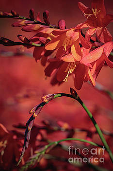 Marc Daly - Orange Flower 7