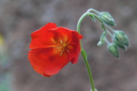 Orange flower and grey background by Emilia Brasier