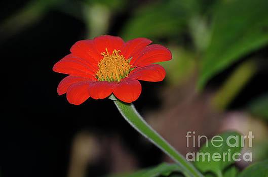 Vermilion Orange  by Donna Brown