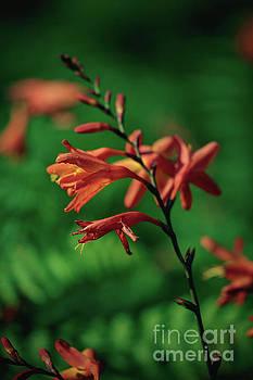 Marc Daly - Orange Flowers 4