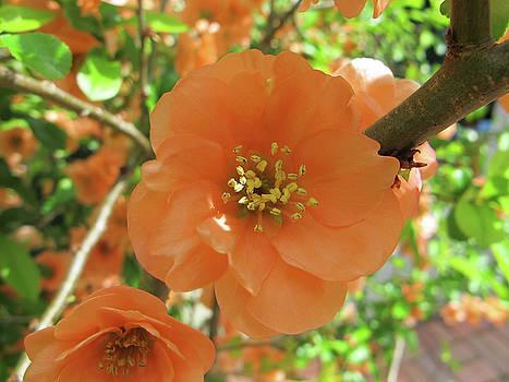 Orange Blossoms by Lynn Harrison