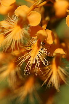 Orange Fringed Orchid by David Hand