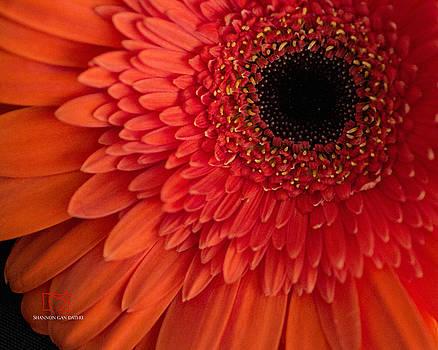 Orange Gerber by Shannon Gan Dathu