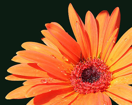 Orange Gerbera on Black Left Side Image by Cathy Beharriell