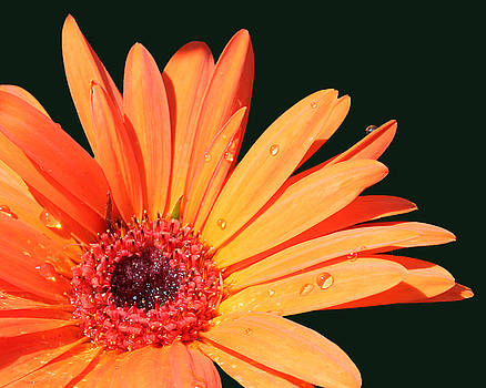Orange Gerbera on Black Right Side  by Cathy Beharriell