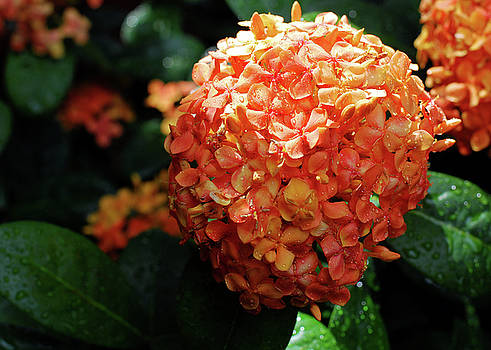 Connie Fox - Orange Ixora in Rain