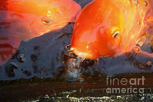 Orange kiss by Irina Davis