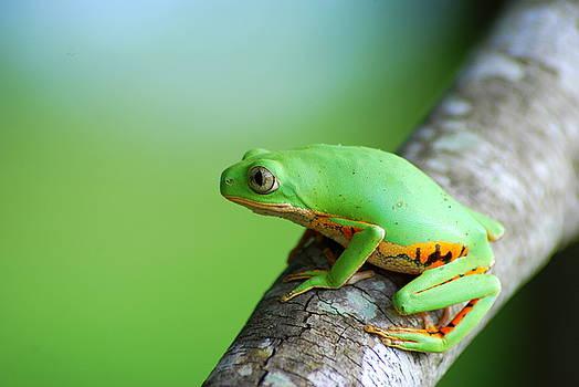Orange Legged Monkey Treefrog by Jason Weigner