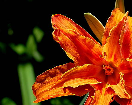 Orange Lily by Scott Gould
