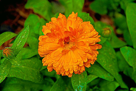Robert Meyers-Lussier - Orange Mum
