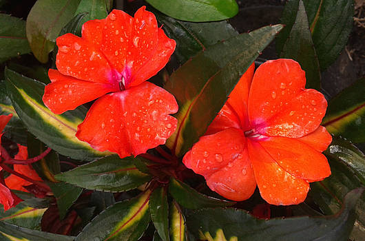 Orange New Guinea by R and E Photography