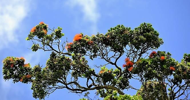Orange Lehua on a ranch in Volcano, Hawaii  by Lehua Pekelo-Stearns
