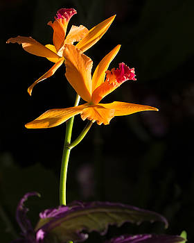 Orange orchid by Derek Reichert