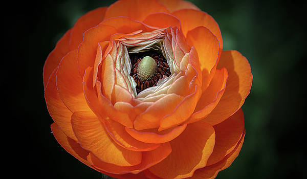 Orange Peony by Greg Thiemeyer