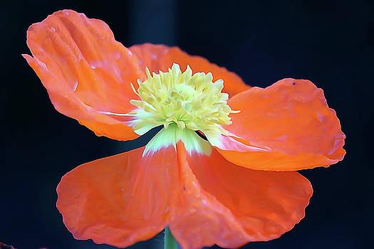 Orange Pop by Wendy Leung