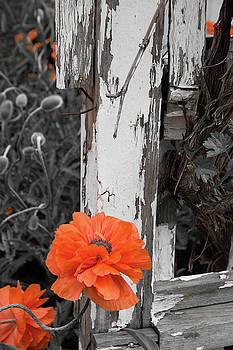 Orange poppies against peeling white fence by Beth Partin