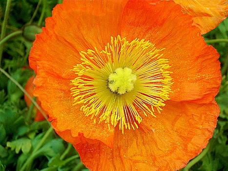 Orange Poppy 2 by Maria Mills
