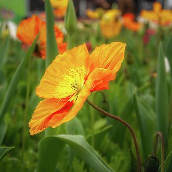 Orange Poppy by Daniela Constantinescu