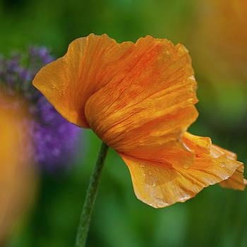 Heiko Koehrer-Wagner - Orange Poppy Flower