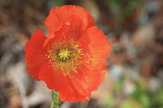 Orange Poppy by Kimberly VanNostrand