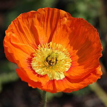 Rosanne Jordan - Orange Poppy