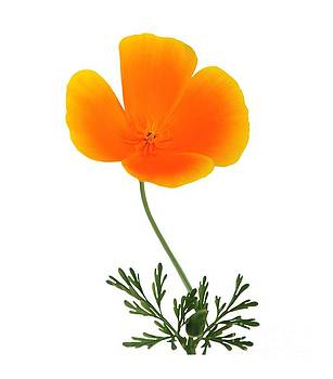 Orange Poppy by Susan Wall