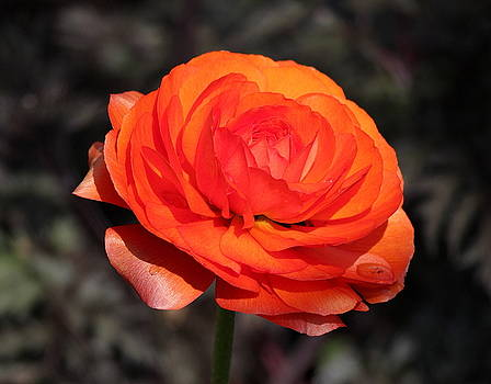 Rosanne Jordan - Orange Ranunculus