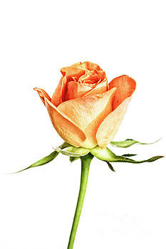 Orange Rose 002 by Tanya C Smith