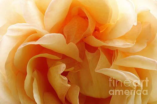 Orange Rose Closeup by Geraldine Jane Ramos-Bittenbinder