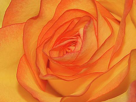 Orange Rose by Graham Taylor