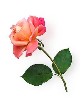 Orange Rose Specimen by Jane McIlroy